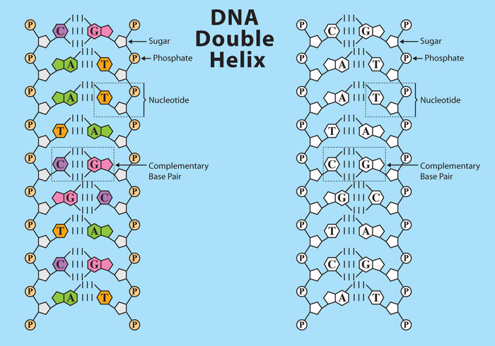 dna structure vector